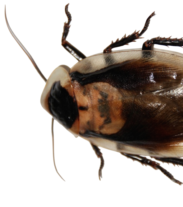 Potentially Harmful Cockroach Allergens Exist In Nearly Half Of All Homes