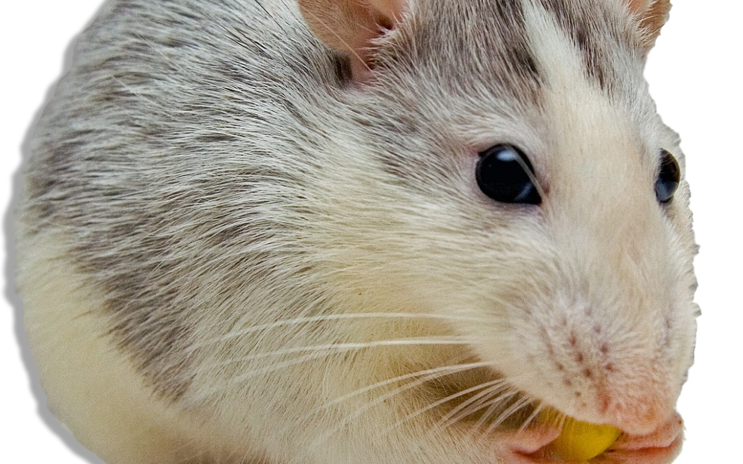 10 Easy Rodent Tips For Homeowners| Johnny B's Pest Control