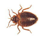 Bedbugs Ticks Fleas Johnny B Pest Control