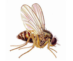 Indoor Fruit Fly Excrement Is Not Only A Health Hazard, It Also Attracts More Flies Into An Infested Home