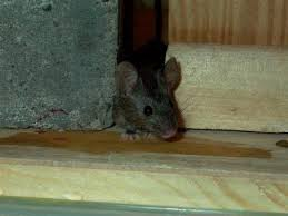 Keep Your Home Rodent Free This Winter
