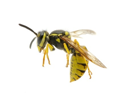 You Can Be Fined As Much As 50,000 Euros For Killing A Wasp