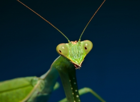 The Praying Mantis Is The Only Insect That Has Inspired A Form Of Martial Arts