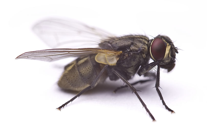 How Did House Flies Go From Dangerous Disease Vectors To Mere Nuisance Pests In Less Than A Century In The US, And Should They Still Be Considered A Potential Health Threat?